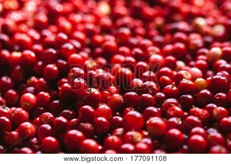 red cranberries autumn berries tasty and h