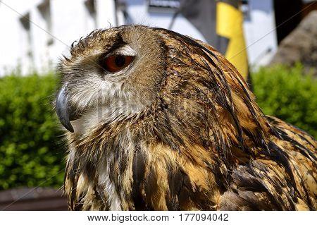 Eurasian eagle owl Latin name Bubo bubo close up