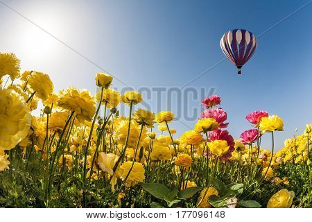 Neverland sun, flowers and balloon. The concept of recreation and eco-tourism. Huge multicolored balloon flies slowly overfield of garden buttercups
