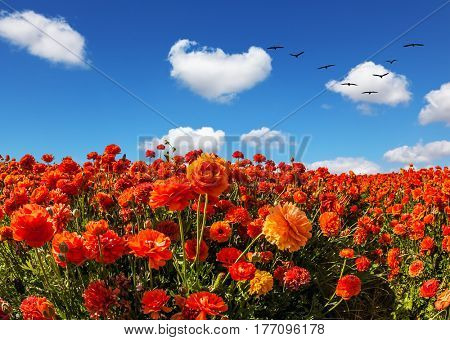 Migratory birds flying high in the cumulus clouds. The southern sun illuminates the flower fields of red buttercups. Concept of rural tourism