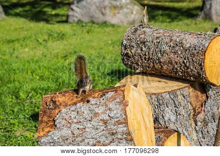 The firewood prepared for the winter. On the stump sits small squirrel. Sunny autumn day. Forest in Pinawa Provincial Heritage Park