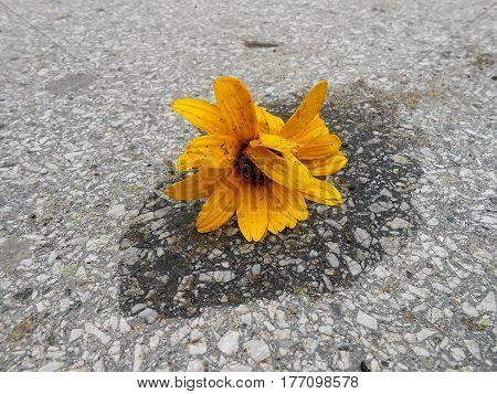 Jerusalem Artichoke Flower Lies In A Summer Puddle