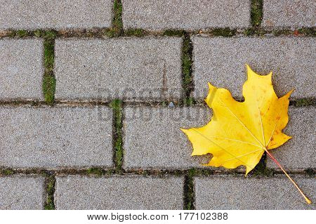Rectangular cobblestone pavement with yellow maple leaf