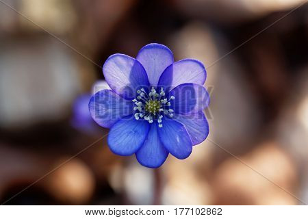 Flowers of a wild Common Hepatica (Hepatica nobilis).