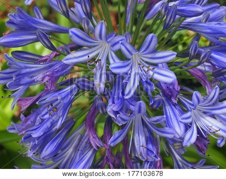 The blossoming umbrellas of an ornamental plant Agapanthus