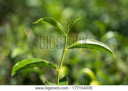 Close-up Fresh Tea Leaves On Tea Bushes In A Plantation