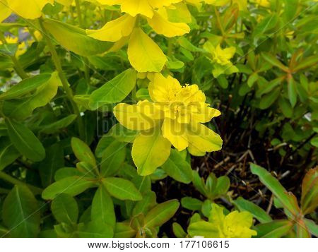 Yellow Euphorbia Multiflorous In The Meadow