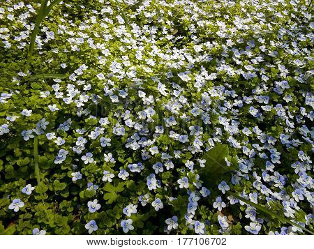 Spring Forget-me-nots Fresh garden blue flowers and green leaves