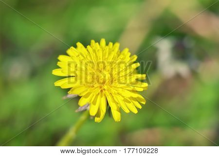 Yelow spring dandelion flower bloom close-up. Flower in nature