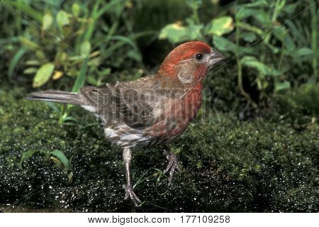 A male House Finch, Haemorhous mexicanus on green moss