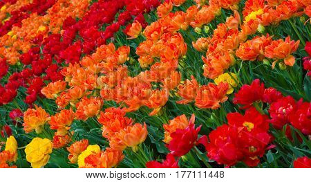 Colorful Nature Background of Tulips Flowers. Amazing Double Red Orange Tulips Growing in the Garden of Spring Sunny Day. Floral Pattern. Wide Horizontal Colorful Wallpaper with selective focus.