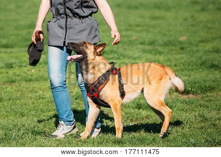 Young Man Working With A Malinois Dog In A Defense Training In Sunny Summer Day In Park. The Handler Is Wearing A Special Uniform With A Sleeve, For Which The Dog Bites. Biting Belgian Shepherd.