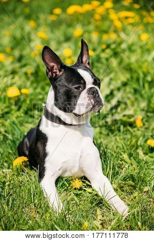 Portrait Of Funny Young Boston Bull Terrier Dog Outdoor In Green Spring Meadow With Yellow Flowers. Playful Pet Outdoors.