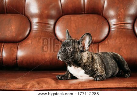 Young Black French Bulldog Dog Puppy With White Spot Sit On Cozy Red Sofa Indoor. Funny Dog Baby
