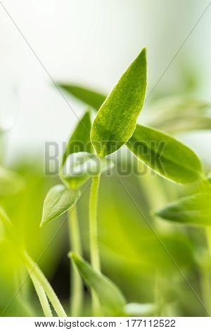 Close Up  Young Sprouts With Green Leaf Or Leaves Growing From Soil. Spring Concept Of New Life. Start Of The Growing Season. Beginning Spring Agricultural. Garden Seedling