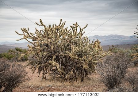 Huge  Jumping Cholla Cactus In The Red Rock Canyon National Conservation Area, Usa