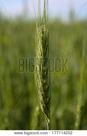 Field of spring wheat in the Kharkiv region of Ukraine. June 2007