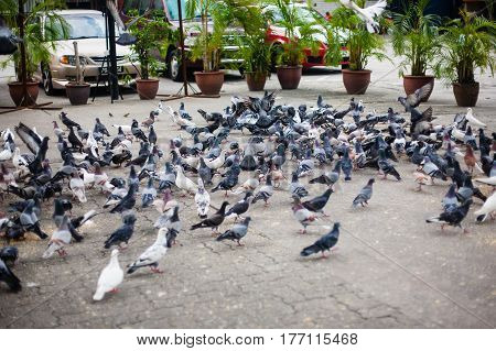Invasion of pigeons, doves on the street with green plants on background in Malaysia