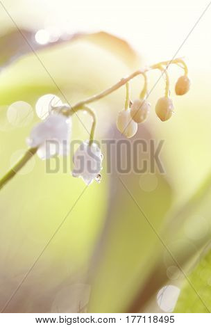 Forest flowers - white lilies of the valley in dew.