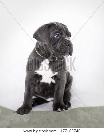 Puppy Cane Corso Gray Color On The Background