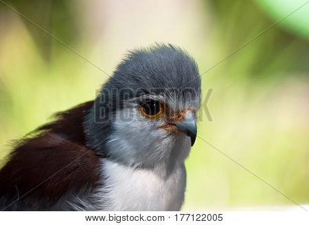 The African Pygmy Falcon, measuring less than a foot long, is the smallest birth of prey on the African continent.