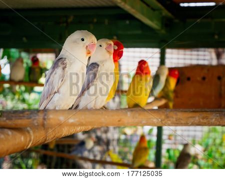 Beautiful Love Birds are in a cage.
