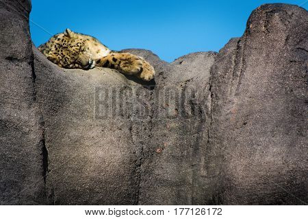 Snow leopard lying on a rock cliff edge on a sunny day