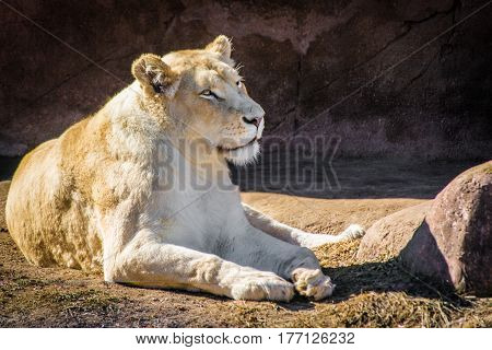 White lioness relaxing on a hot day near rocks