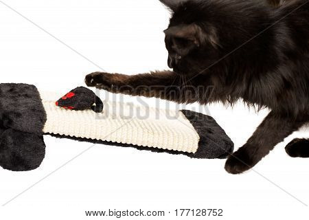 Cat hunting a black mouse toy isolated on white