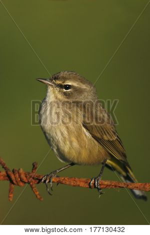 A Palm Warbler, Setophaga palmarum on a wire in winter plumage in Florida