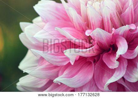 Closeup of a Pink Dahlia at Manito Park Spokane Washington