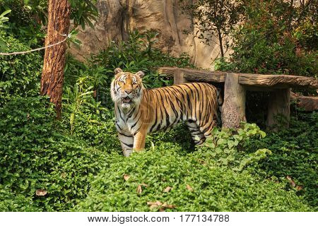 Bengal Tiger standing and looking in the zoo