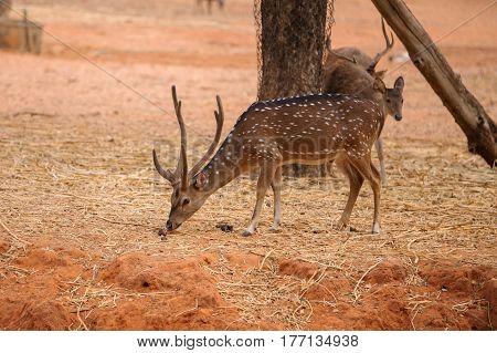 Red Deer On Red Dry Soil