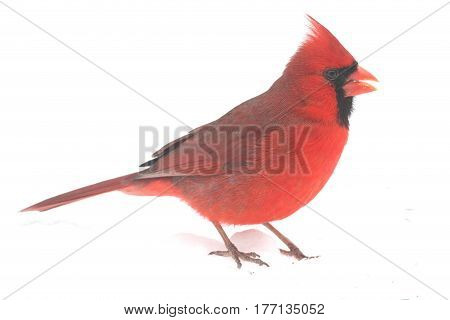 Male Northern Cardinal (Cardinalis) on a white background
