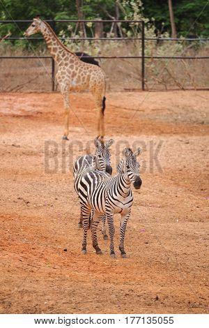 Burchell's Zebra On The Red Dry Soil