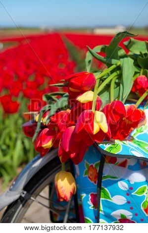 Colorful typical Dutch landscape with bike and red tulips flower bulbs in rows