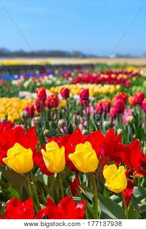 Typical landscape in Holland with colorful flower bulbs tulips in the fields