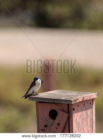Blue Tree Swallow Bird, Tachycineta Bicolor
