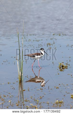 Black-necked stilt Himantopus mexicanus shore bird in spring fishing in a marsh pond in Irvine California United States.