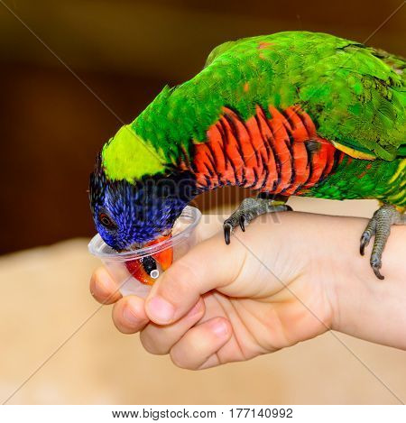 Rainbow lori (Trichoglossus moluccanus) close-up of bird drinking nectar from a cup held by a child's hand. Also called a lorikeet
