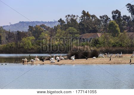 Great white pelicans Pelecanus onocrotalus nest on an island in the middle of a lake in Southern California in spring.