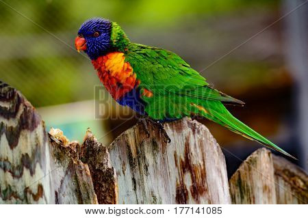 rainbow lori (Trichoglossus moluccanus) with vivid eyes and plumage. Also called a lorikeet perched on a fence.