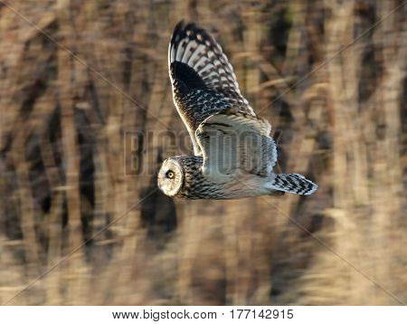 Short-eared Owl in flight profile with grass background