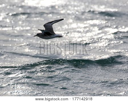 A Black-bellied Plover Flying over the Water