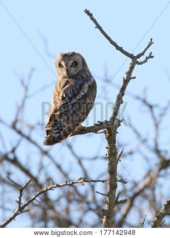 A Short-eared Owl Perched on a Branch