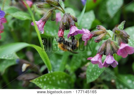 A bee pollinates flowers extracts honey from a pink bud