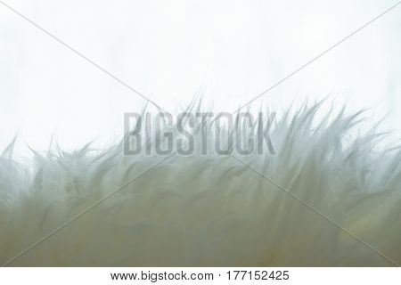 close up of White fluffy fur background