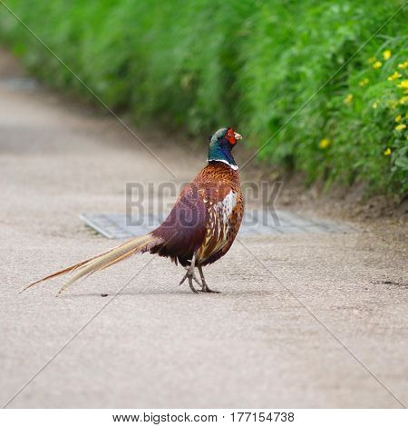 Male ring-necked pheasant on the road in Devon