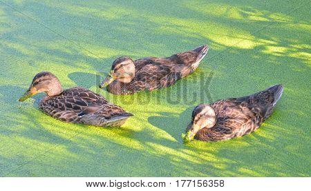 Group of swiming ducks in green morass.