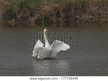 White swan on the Po river, Emilia-Romagna